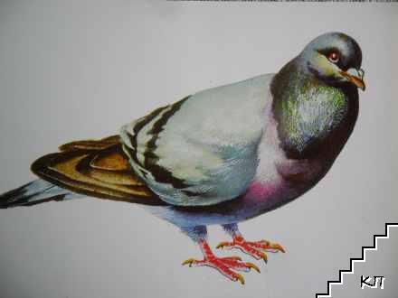 Скален гълъб