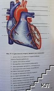 Анатомия на човека. Част 2: Вътрешни органи. Сърдечносъдова система. Нервна система