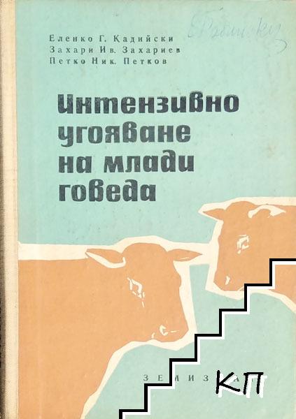Интензивно угояване на млади говеда