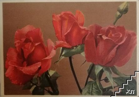 Rosa / Rosen / Roses